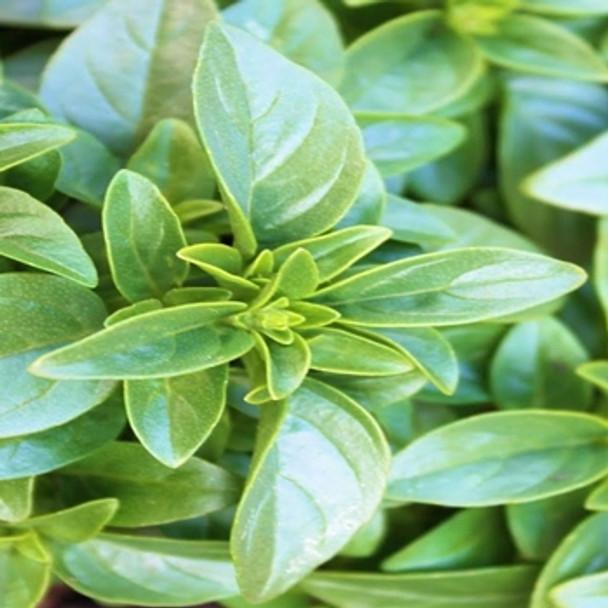 Herb - Basil - Green Globe - Seed Megastore - sku 368