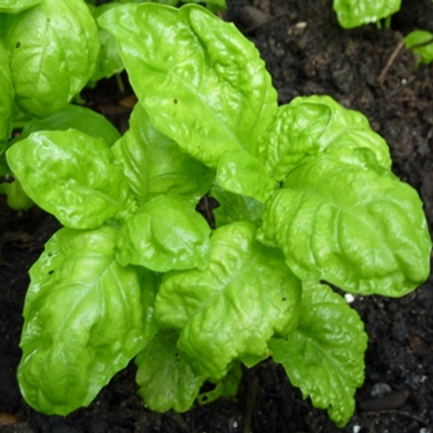 Herb - Basil Neopolitana - Seed Megastore - sku 375