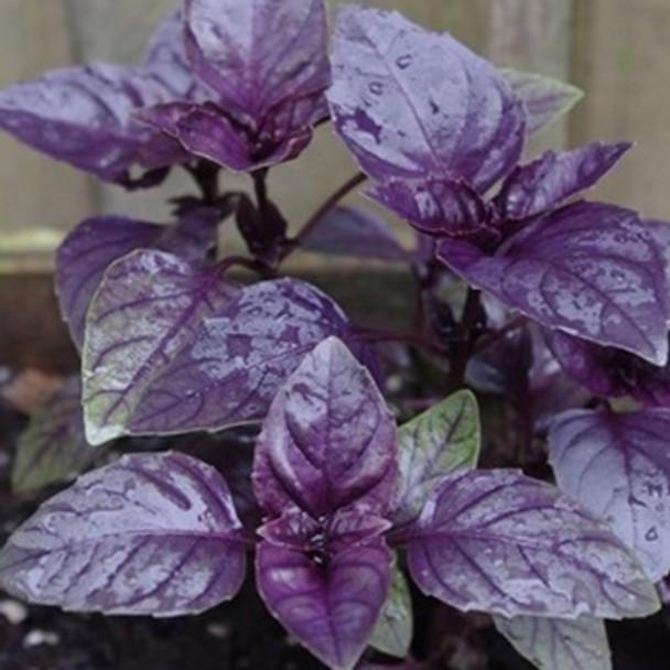 Herb - Basil Purple Ruffles - Seed Megastore - sku 376