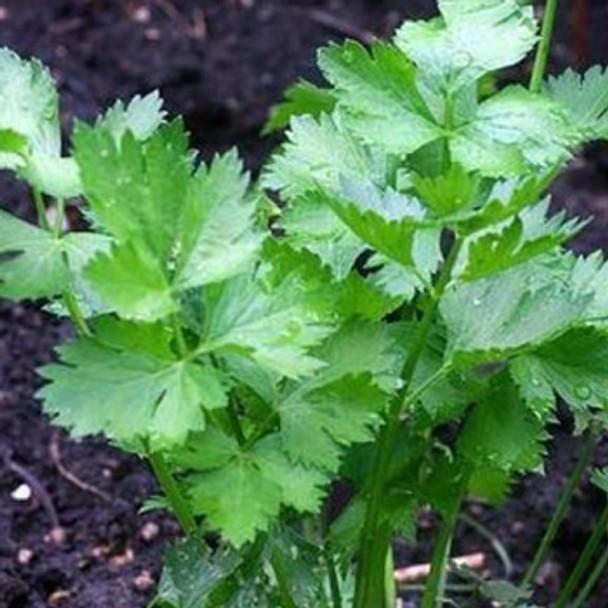 Herb - Celery Leaf - Seed Megastore - sku 388