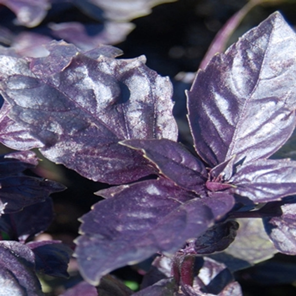 Herb - Basil Rubin - Seed Mdegastore - sku 390