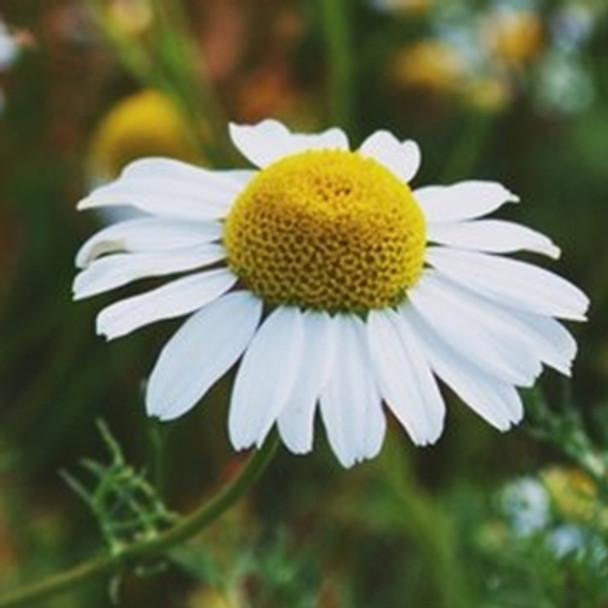Herb - Chamomile Lawn - Seed Megastore - sku 393