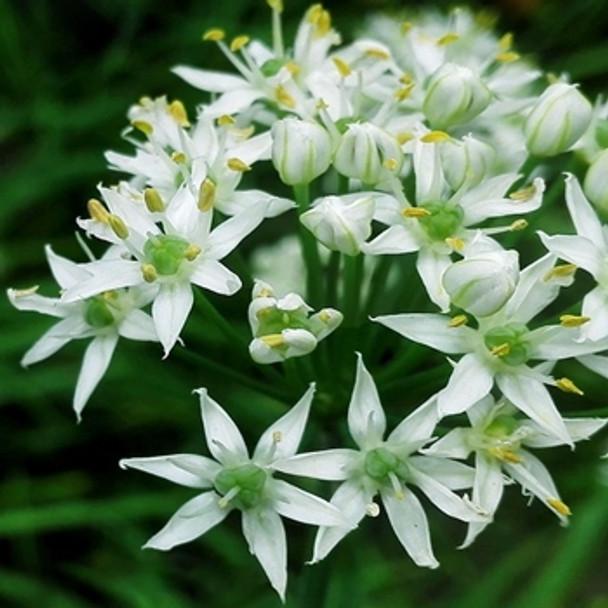 Herb - Garlic Chives - Seed Megastore - sku 395
