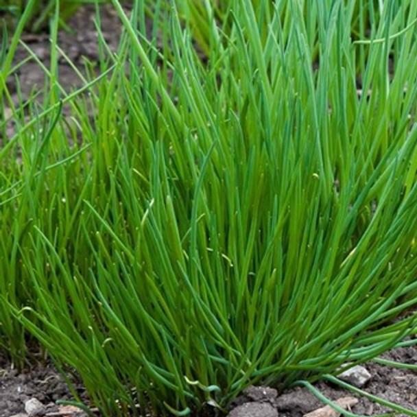 Herb - Chives Extra Fine - Seed Megastoere - sku 397
