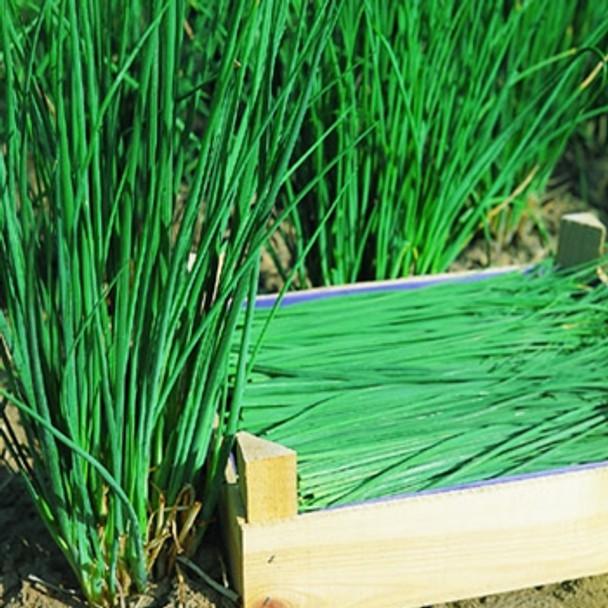 Herb - Chives Polystar - Seed Megastore - sku 398