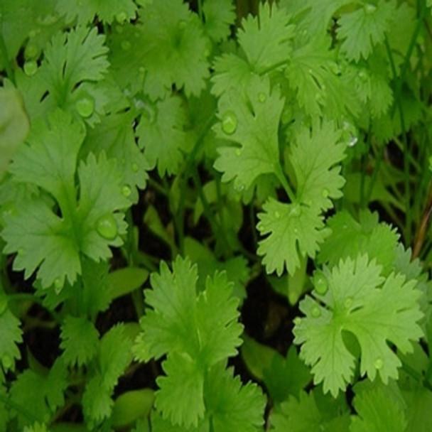 Herb - Coriander - Seed Megastore - sku 401