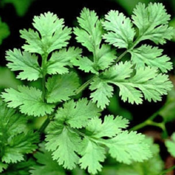 Herb - Coriander Leisure - Seed Megastore - sku 405