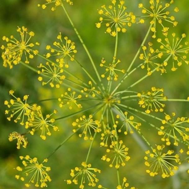 Herb - Dill Dukat - Seed Megastore - sku 412