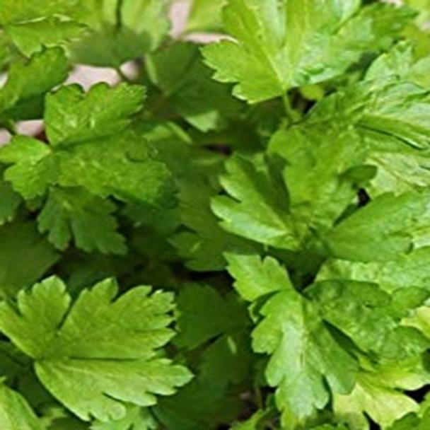 Herb - Coriander - Green Aroma - sku 414