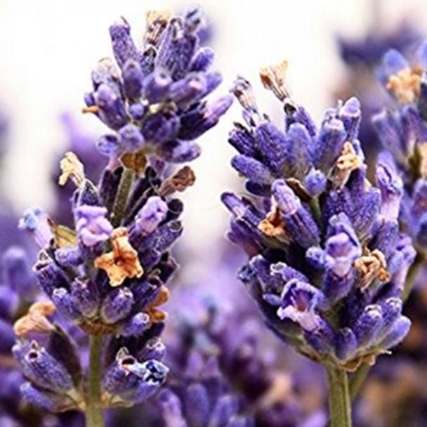 Herb - Lavender Vera - Seed Megastore - sku 424