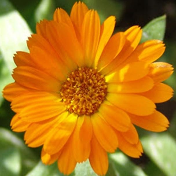 Herb - Marigold Pot - Seed Megastore - sku 427