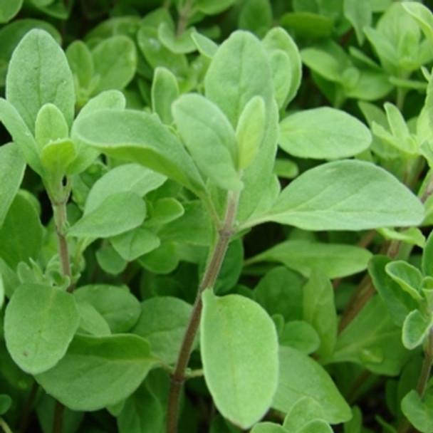 Herb - Marjoram Sweet - Seed Megastore - sku 429