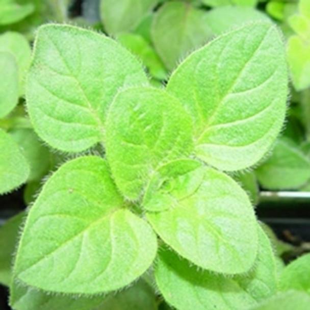 Herb - Oregano Greek - Seed Megastore - sku 432