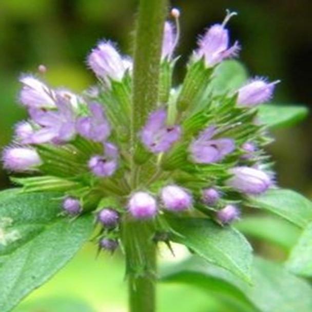 Herb - Pennyroyal - Seed Megastore - sku 433