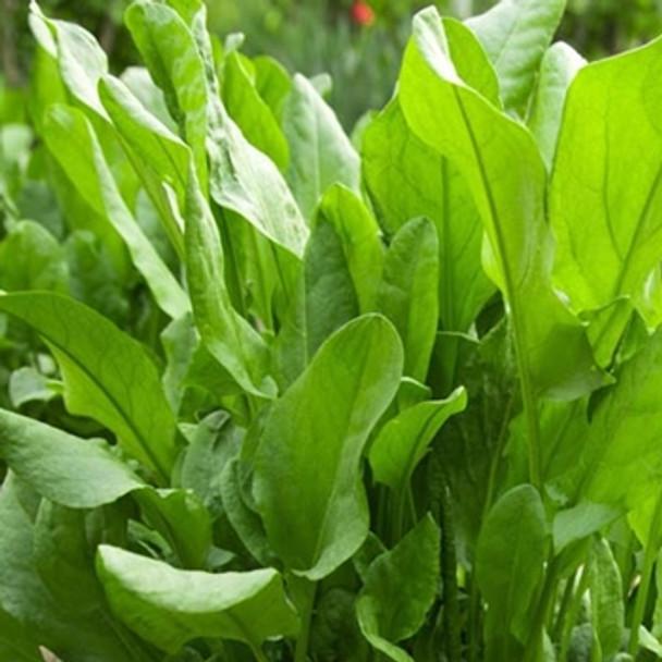 Herb - Sorrel Large French - Seed Megastore - sku 444