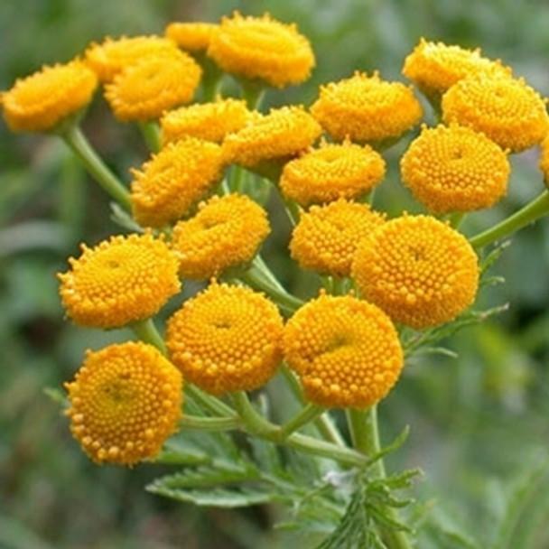Herb - Tansy - Seed Megastore - sku 448