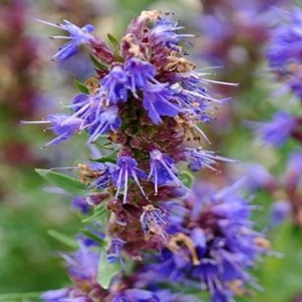 Herb - Hyssop Blue - Seed Megastore - sku 456