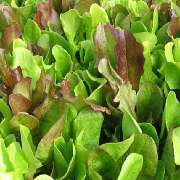 Lettuce - Mixed - Seed Megastore - sku 488
