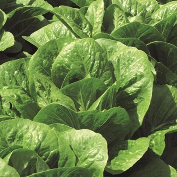 Lettuce -Claremont - Seed Megastore - sku 539