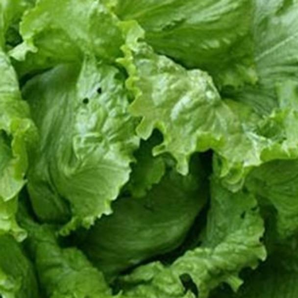 Lettuce - Webbs Wonderful - Seed Megastore - sku 552