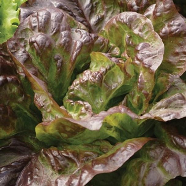 Lettuce - Roxy - Seed Megastore - sku 557