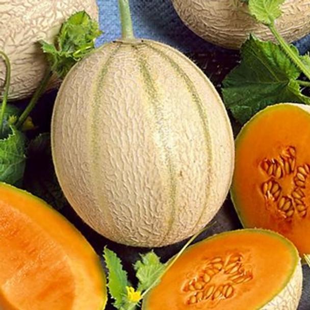 Melon - Malaga - Seed Megastore - sku 564