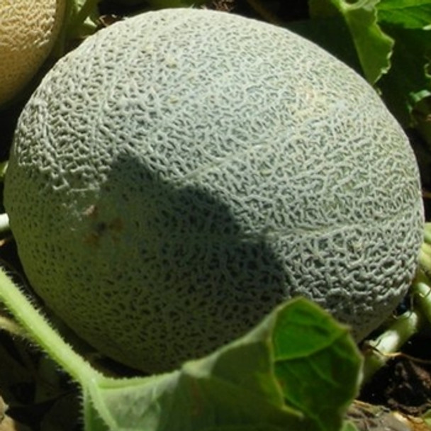 Melon - Blenheim Orange - Seed Megastore - sku 565