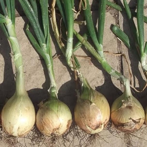 Onion - F1 Toughball - Seed Megastore - sku 572