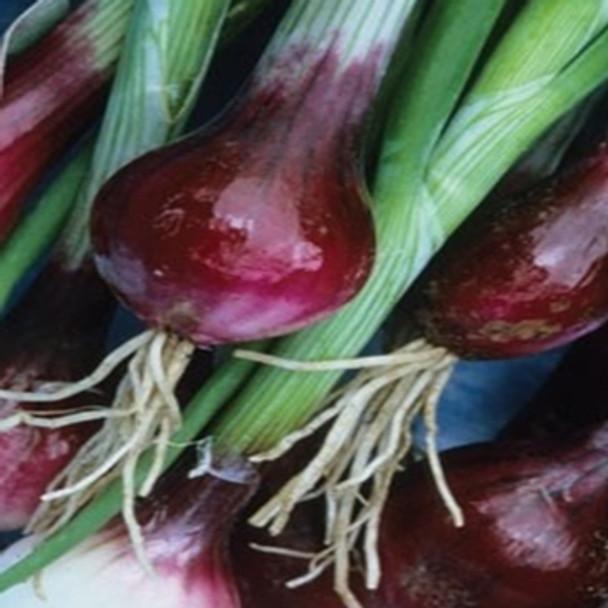 Onion - North Holland Bloodred Redmate - Seed Megastore - sku 592