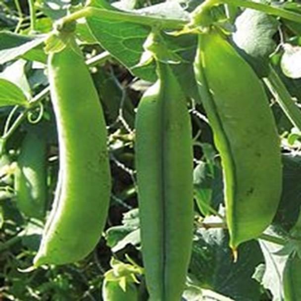 Pea - Twinkle - Seed Megastore - sku 655