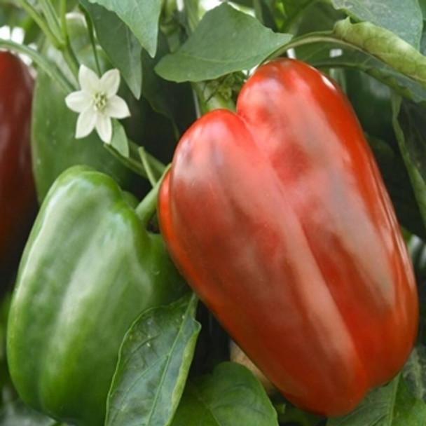 Sweet Pepper - Californian Wonder - Seed Megastore - Sku 680
