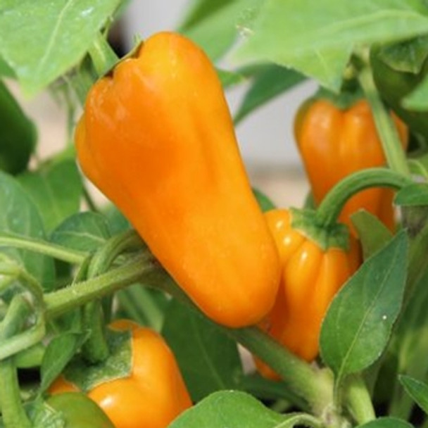 Hot Pepper - F1 Cheyenne - Seed Megastore - sku 721
