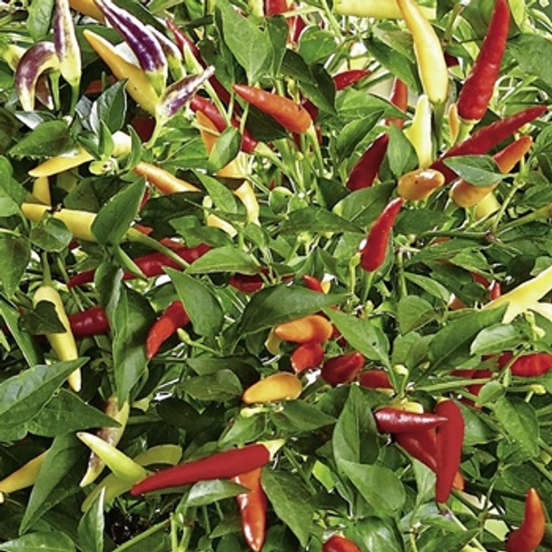 Hot Pepper - F1 Volante Hot Red - Seed Megastore - sku 744