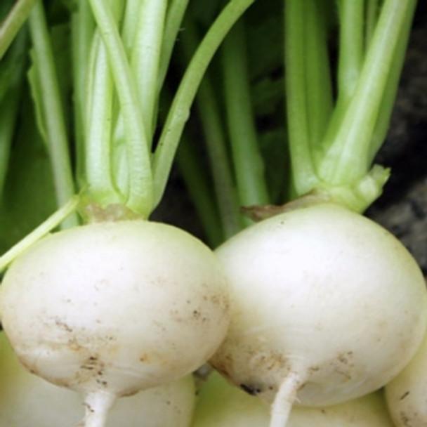 Radish - Albena White - Seed Megastore - sku 759