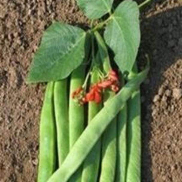 Runner - Bean Armstrong - Seed megastore - sku 801