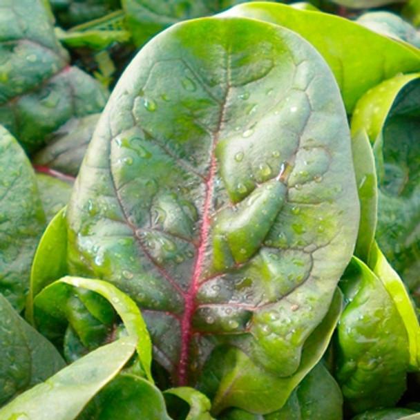 Spinach - F1 Rubino - Seed Megastore - sku 832