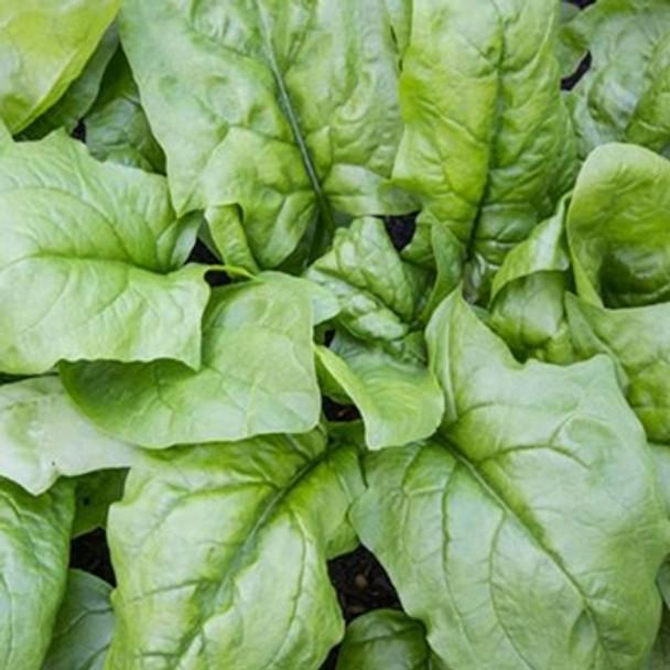 Spinach - Viroflay - Seed Megastore - sku 833