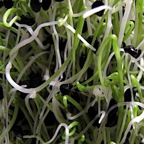 Sprouting Seed -Onion - Seed Megastore - sku 853