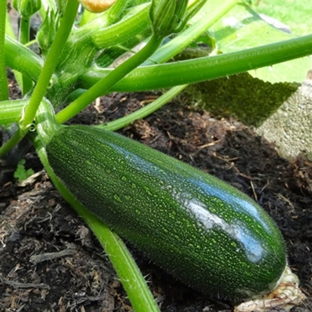 Courgette - Black Forest - Seed Megastore - sku 884