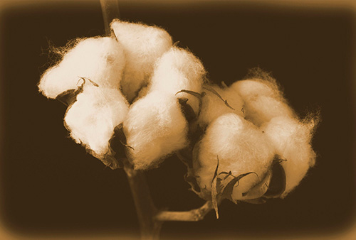 Image of Cotton ready to be harvested