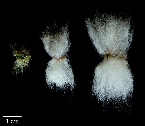 Long staple cotton vs. poor grades of cotton