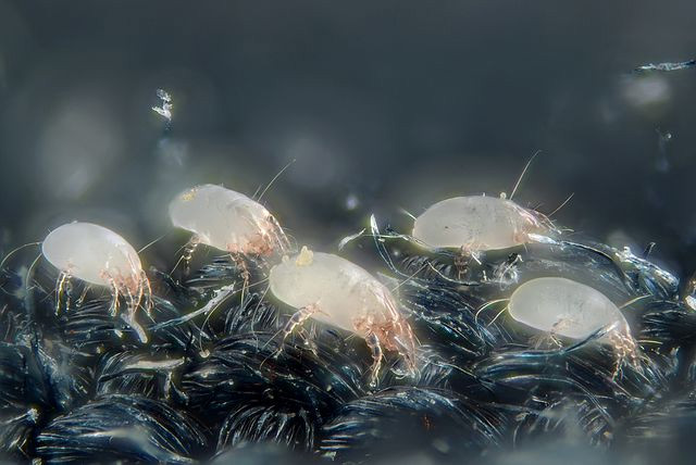 Magnified image of a dust mite