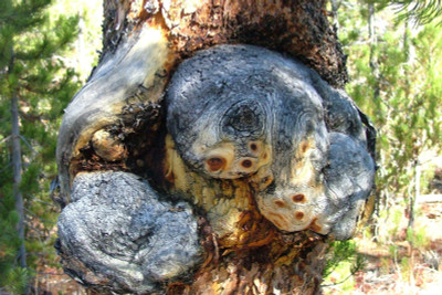 4 Steps to Prepare Your Burl for a Wood Project