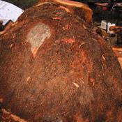 2-redwoodburl1-thumb.jpg
