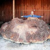 2-redwoodburl4-thumb.jpg