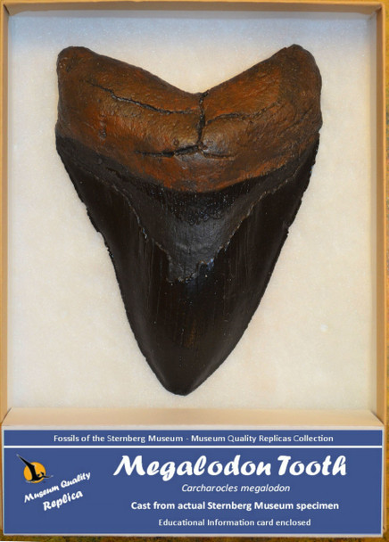 "This authentic replica is created from an actual specimen in the museum's permanent collection. Each tooth has been hand cast and hand painted by a team of Fort Hays State University students under the guidance of a museum artist. Care has been taken to ensure that this replica is an authentic representation of the actual fossil specimen. Since these replicas are hand made, no two are exactly alike. Measures approximately 3 3/4"" x 5""."