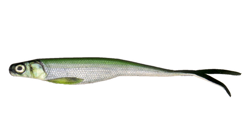 "BioBait DNA - 5"" Switchback - Greenback Shad - 6 per pack"