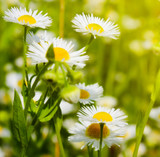 Chamomile Blue German (3% Dilution) | ESSENTIAL OIL