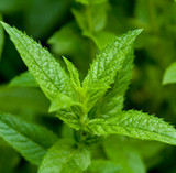 Peppermint (Japanese) | ESSENTIAL OIL