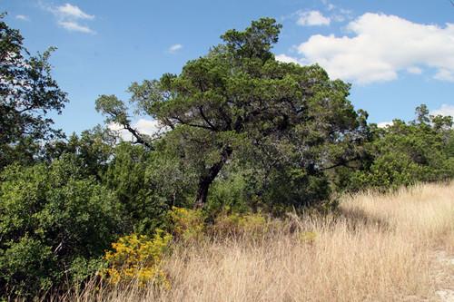 Cedarwood (Texas) | Essential Oil